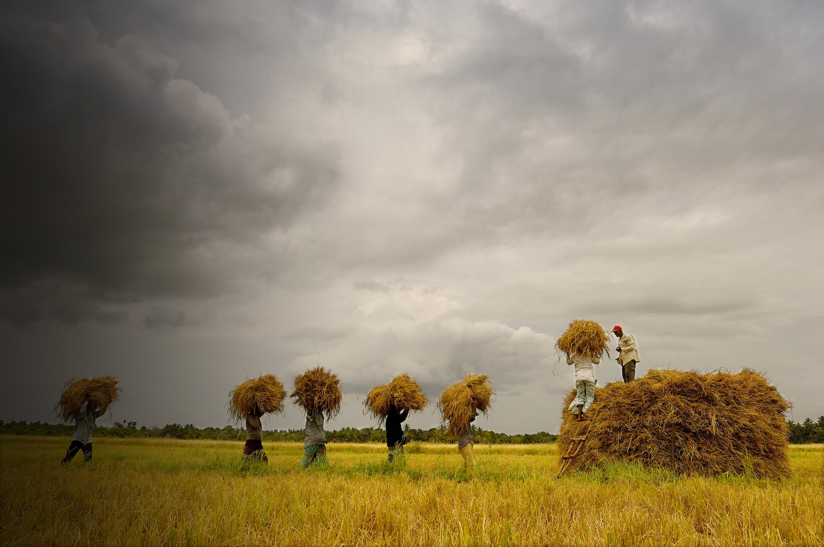 A group of men carry wheat in a field