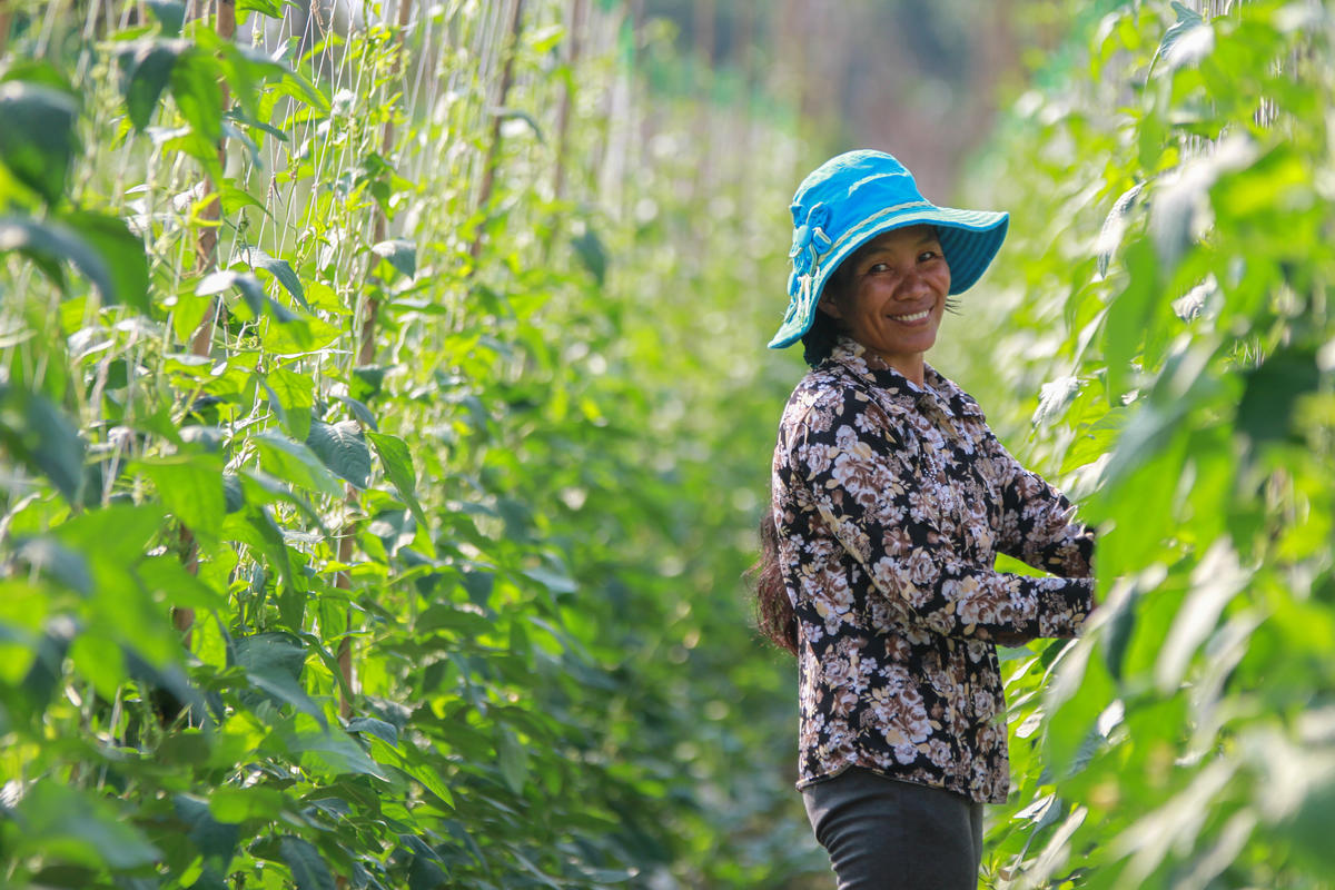 Khmer woman on her farm picks beans from rows of crops