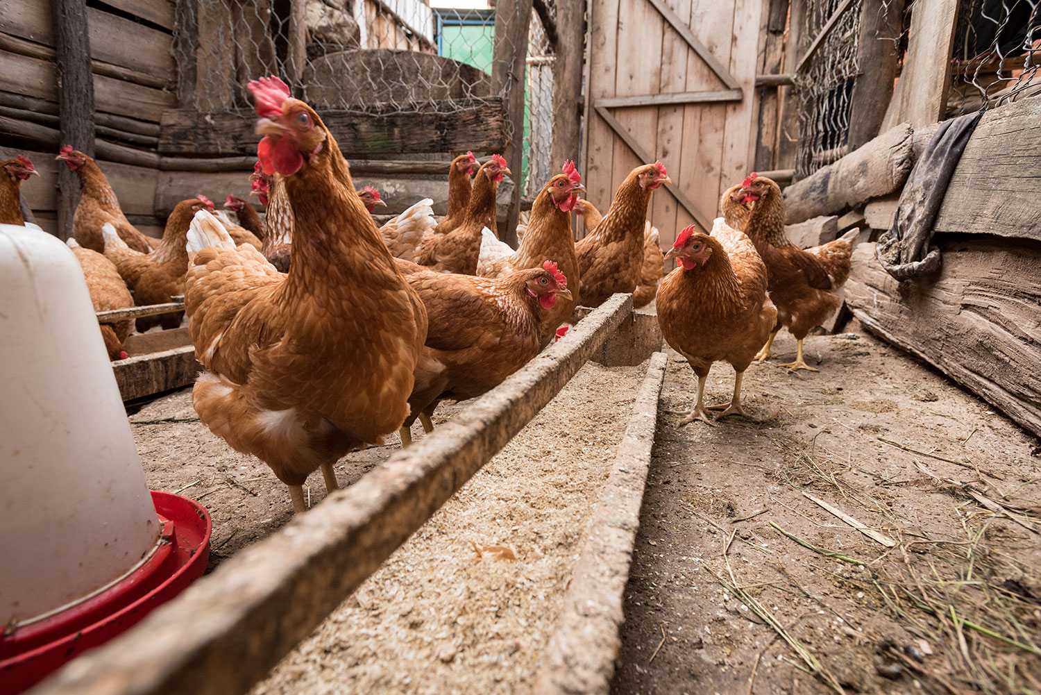 Phocus' chickens at his farm in Rwanda