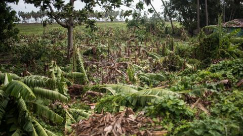 Banana tress and almost all other crops have been destroyed