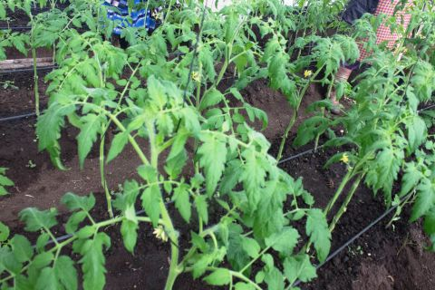 Tomatoes are grown inside the greenhouse
