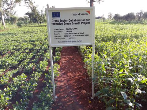 Groundnut and sesame garden where organic pesticides is applied.