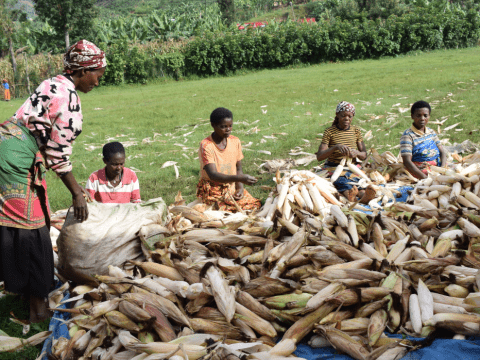 Some of the farmers who are part of Icyerecezo maize producer cooperative prepare the maize after harvest