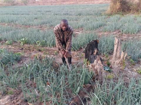 Onion field cultivated by Mr Sampa