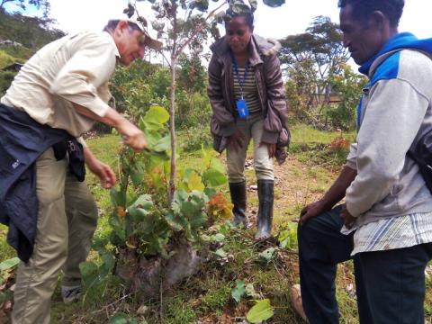World Vision's Tony Rinaudo demonstrates trimming a eucalypt to World Vision's Cecundina Pereira (centre) and a local farmer in Aileu. Photo: World Vision
