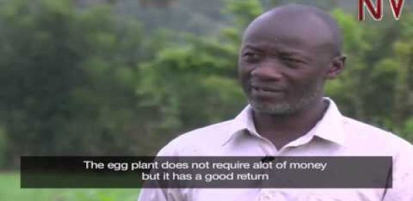 On The Farm: Kakumba quit taxi business to earn big growing African egg plants (entula)